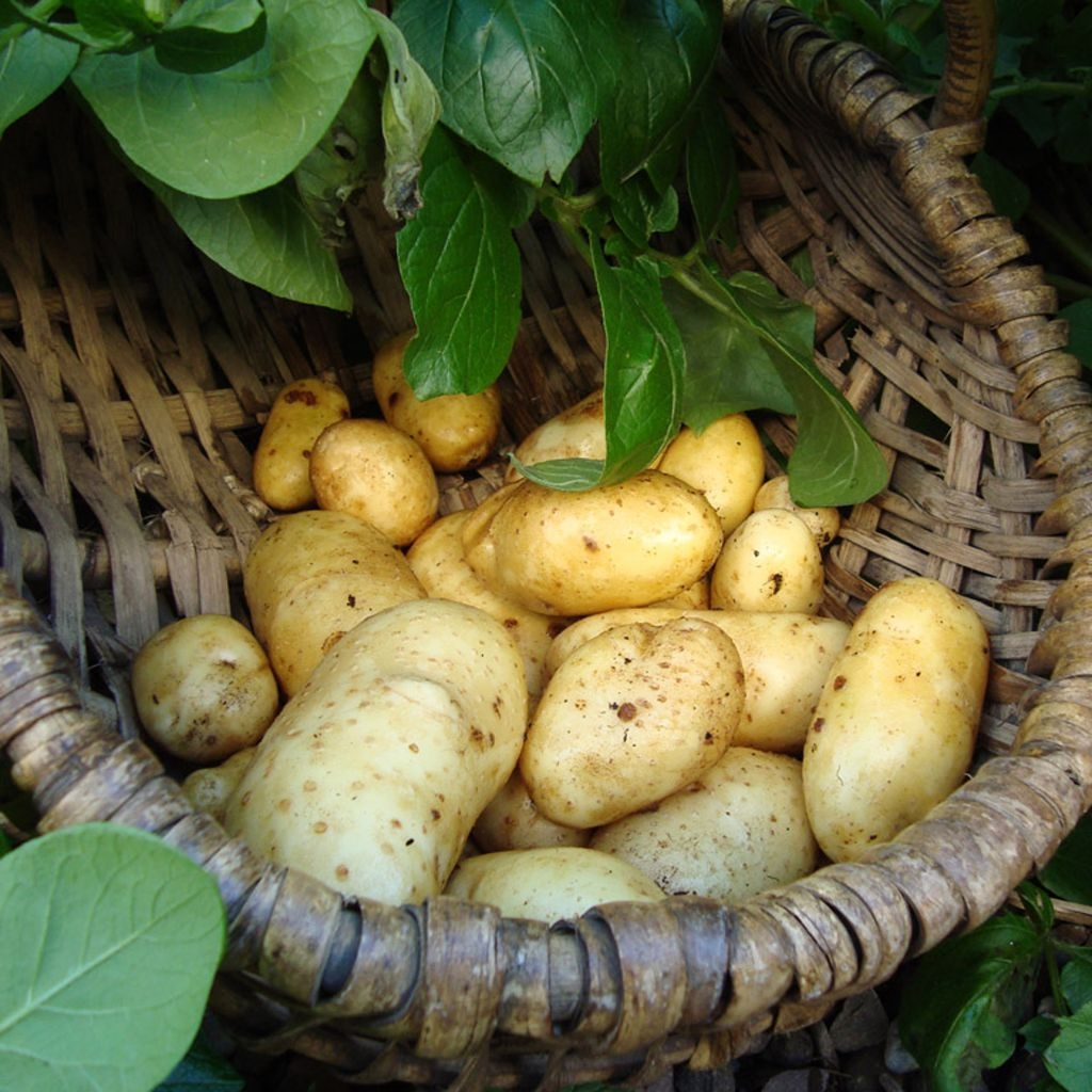 Great Selection of Seed Potatoes Now In Stock